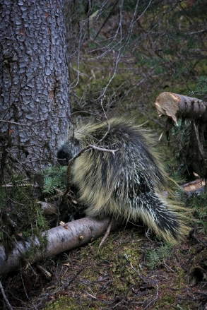 I love porcupines! So cute, though I rarely ever see them.